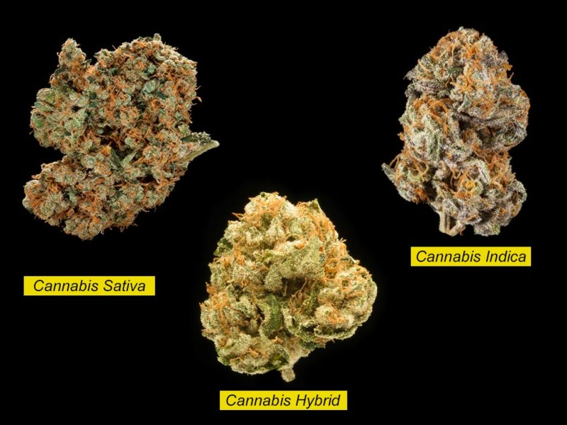Cannabis Sativa and Cannabis Indica: What's the Difference